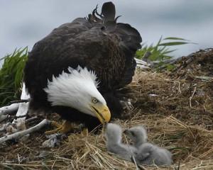 Bald_Eagle_h43-1-023_l_0
